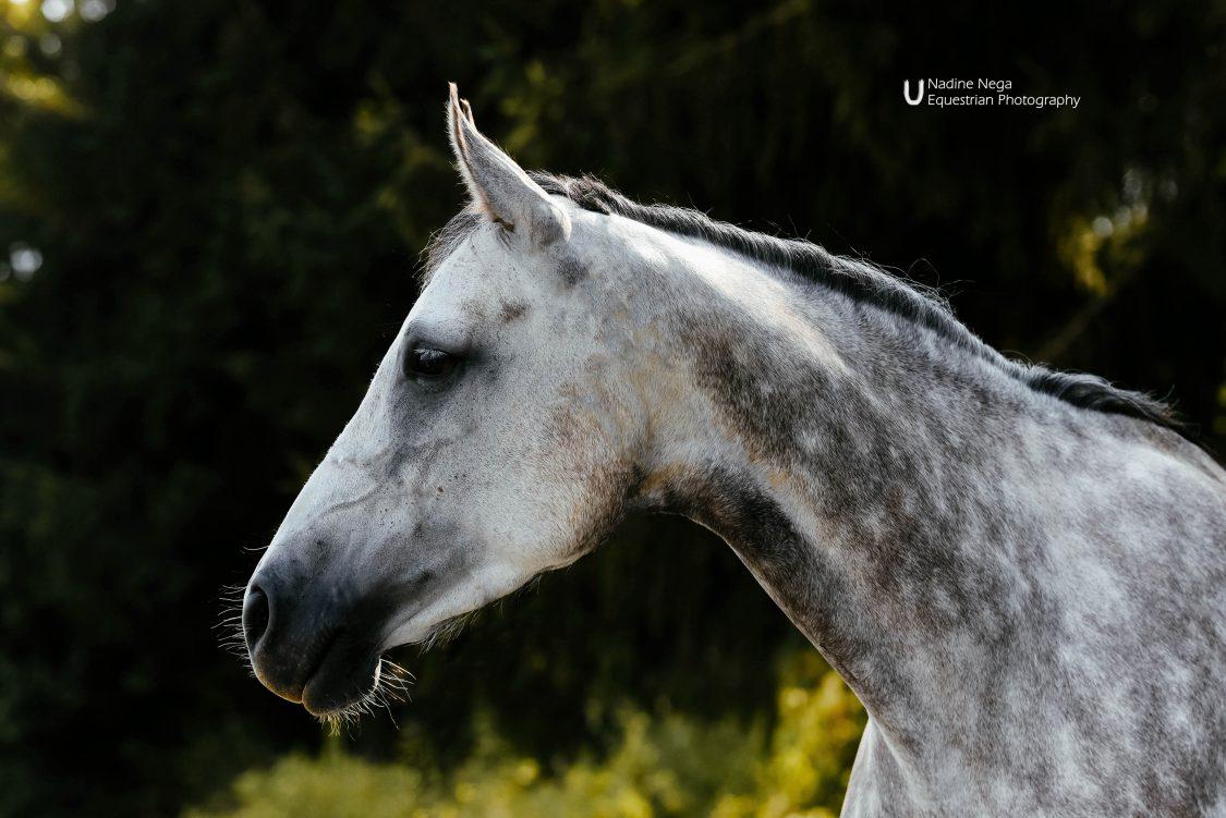 Head of grey mare looking to the left / Cabeza de yegua gris, viendo a la izquierda