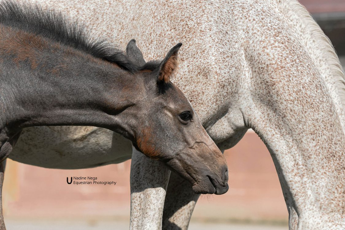 Grey colt long neck to the right / Potro gris cuello largo a la derecha