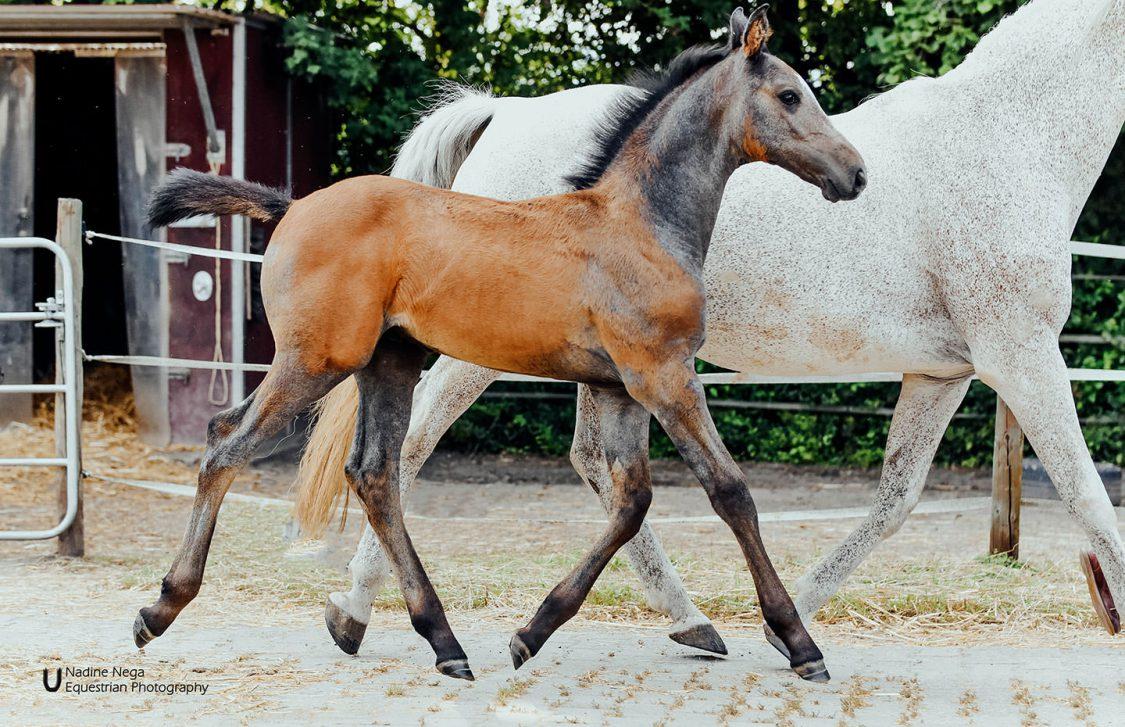 Grey colt trotting to the right / Potro gris trotanto a la derecha