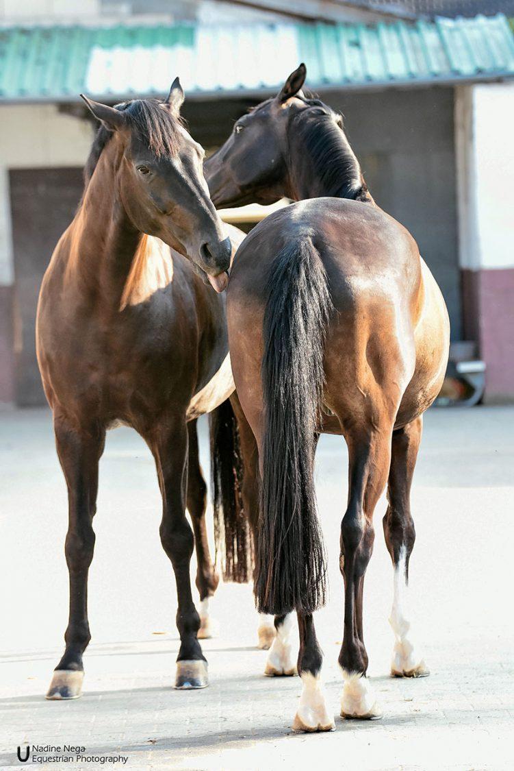 Two dark horses cuddeling / Dos caballos oscuros razgandose