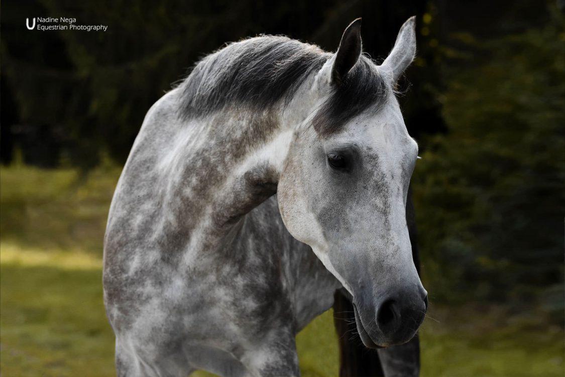 Grey mare looking to the right / Yegua gris viendo a la derecha
