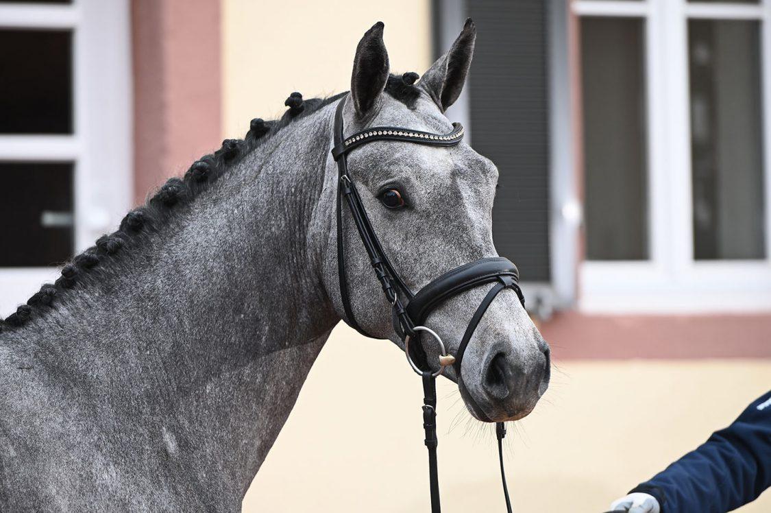Head of grey stallion looking to the right / Cabeza de entero gris viendo a la derecha