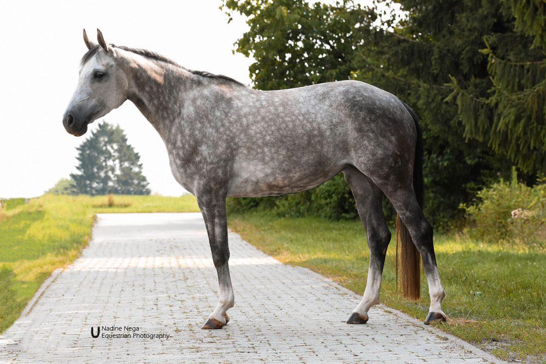 Body of grey mare left / Cuerpo de yegua gris izquierda
